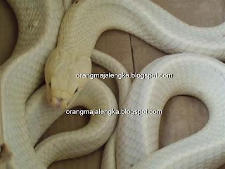 ular kobra langka berwarna putih dari majalengka