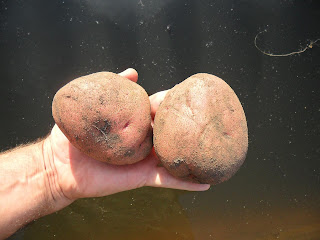 1 августа, картофель Любава