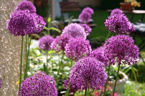 gartentipps allium aflatunense 39 purple sensation 39 purpurviolette zierlauch sensation im. Black Bedroom Furniture Sets. Home Design Ideas