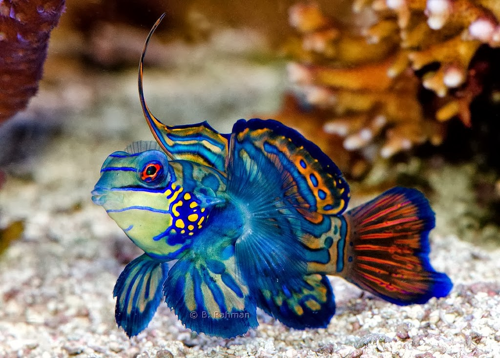 amazing color the mandarin fish exotic freshwater and