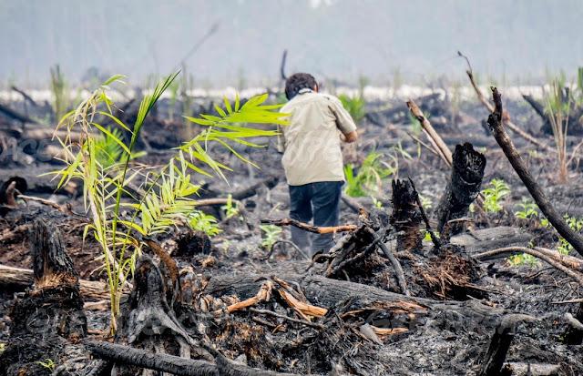 Greenpeace Ekspos Hutan Gambut Terbakar yang Ditanami Kelapa Sawit