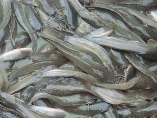 Cara Mengatasi Penyakit Pada Usaha Budidaya Ikan Lele