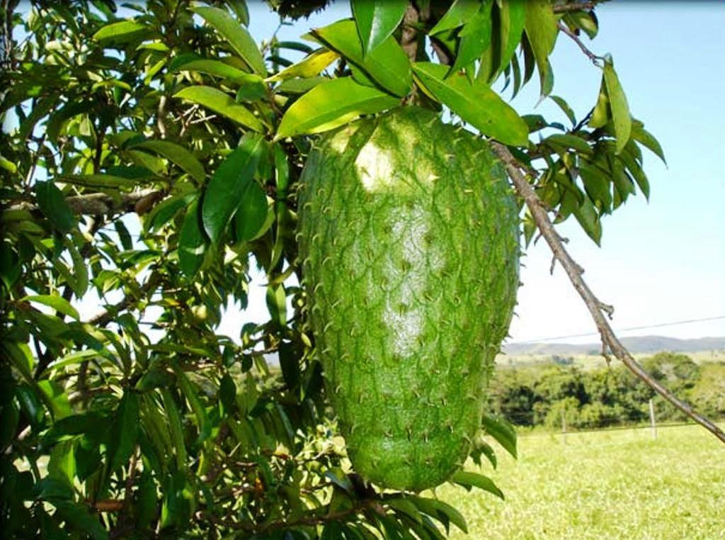Guanabana Fruta