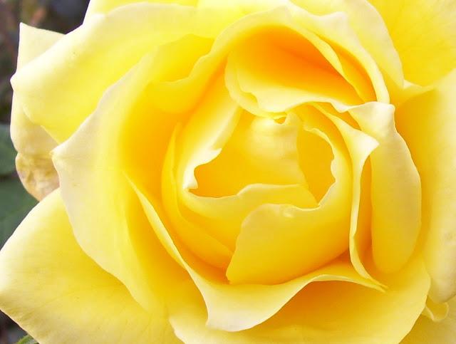 Pimpollo grande de Rosa Amarilla