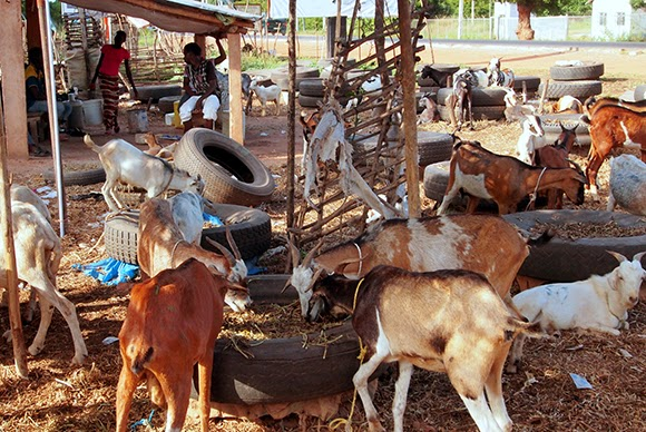 gambia goat market