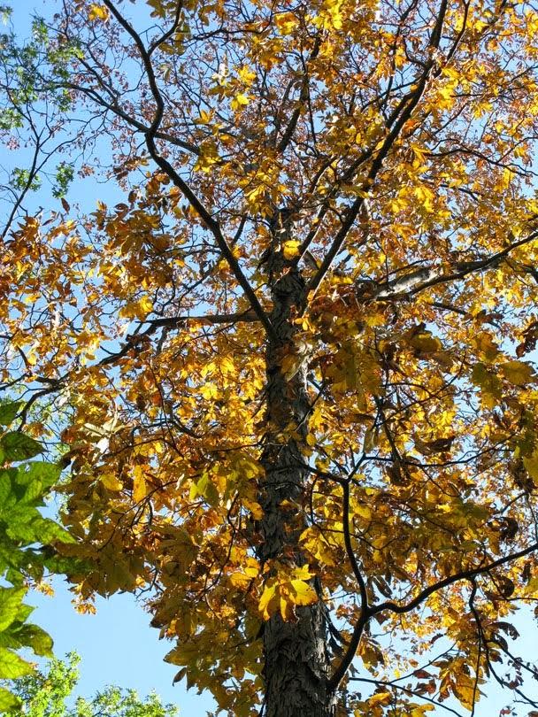 Black Oak Tree ~ Trees planet quercus velutina black oak