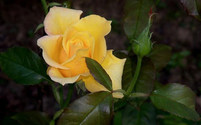 Yellow rose bud leafs