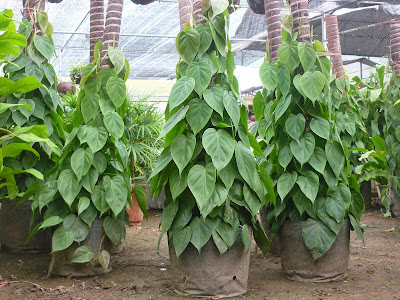 Betel (Piper Betle) Overview, Health Benefits, Side effects