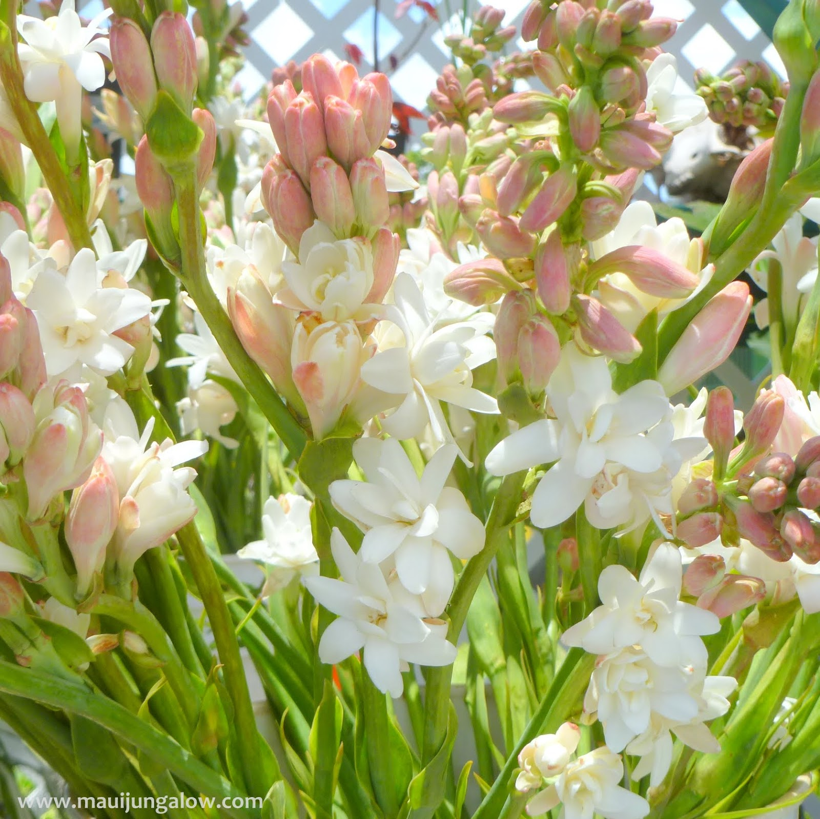 Maui jungalow f is for flowers fragrant tuberose or pikake in hawaiian izmirmasajfo Gallery