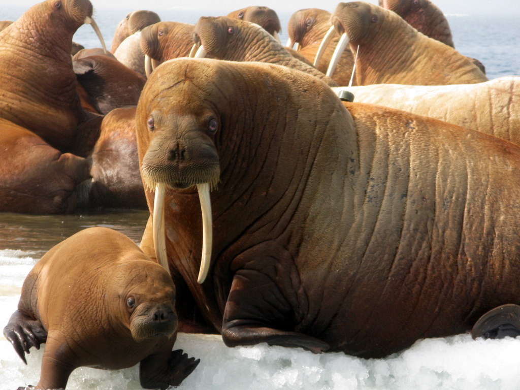 Animal Free Wallpapers: Animal Walrus Wallpapers