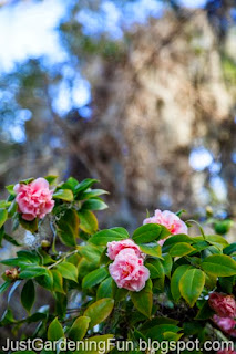Pink and Red Rose Garden Shrubs Growing in Forest and Spanish Moss in Picture