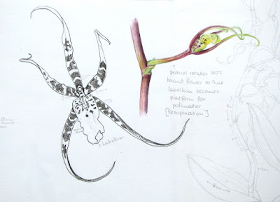 Sketchbook studies in ink and watercolour of a Spider Orchid by Shevaun Doherty