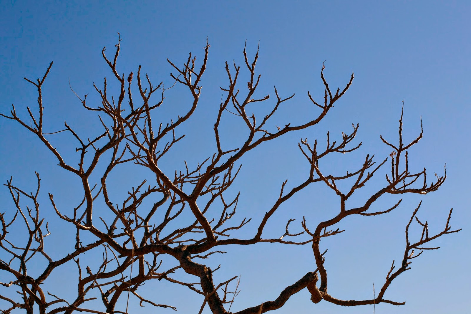 Naked tree against the blue sky.