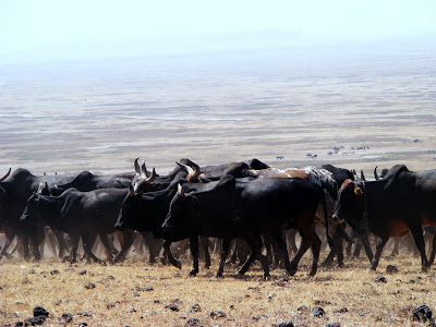Maasai people's cattle in Ngorongoro crater by JoseeMM