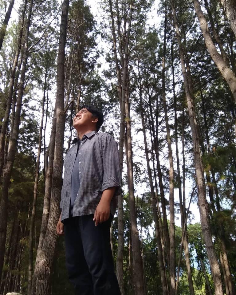 pohon pinus tapango