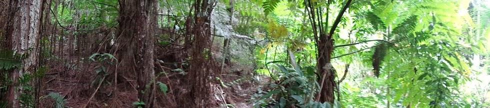 Preservando a Samambaia-açu que está em extinção