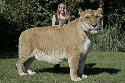 Hérculos é o resultado do cruzamento de uma leoa com um tigre