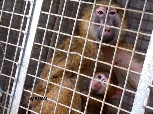 a look at animal experiments that show the intellectual abilities of primates Classroom activity for the nova program ape genius  these studies look at key skills and behaviors that are associated with intelligence in humans  show the program and have students.