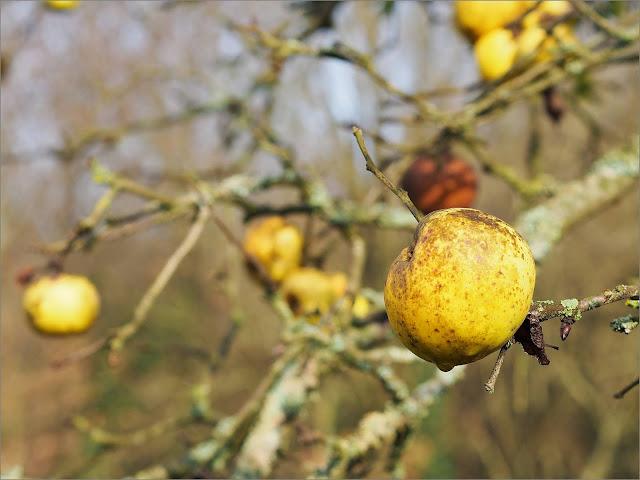 Pomme à cidre, Saint-Just, Bretagne