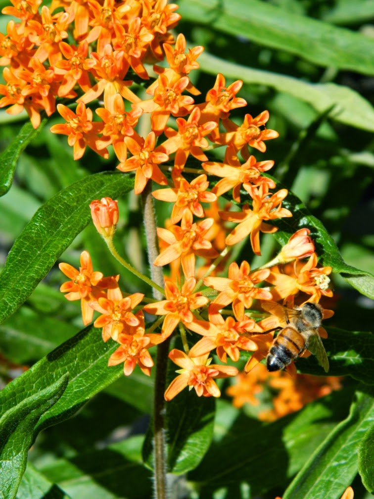 Asclepias tuberosa butterfly weed blooms by garden muses-not another Toronto gardening blog