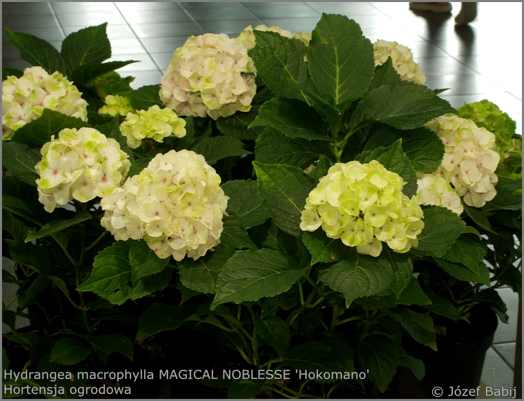 Hydrangea macrophylla MAGICAL NOBLESSE 'Hokomano' - Hortensja ogrodowa MAGICAL NOBLESSE 'Hokomano'