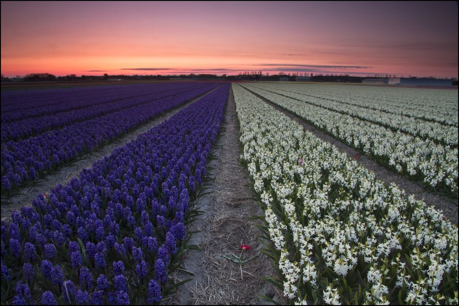20. Flower fields, Lisse, Netherlands by Sven Broeckx