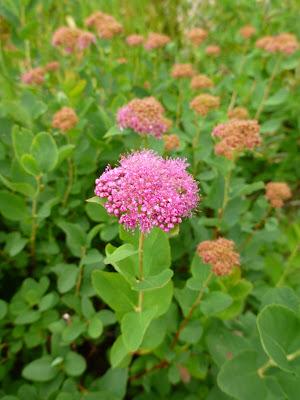 Spiraea splendens – Rosy Spiraea