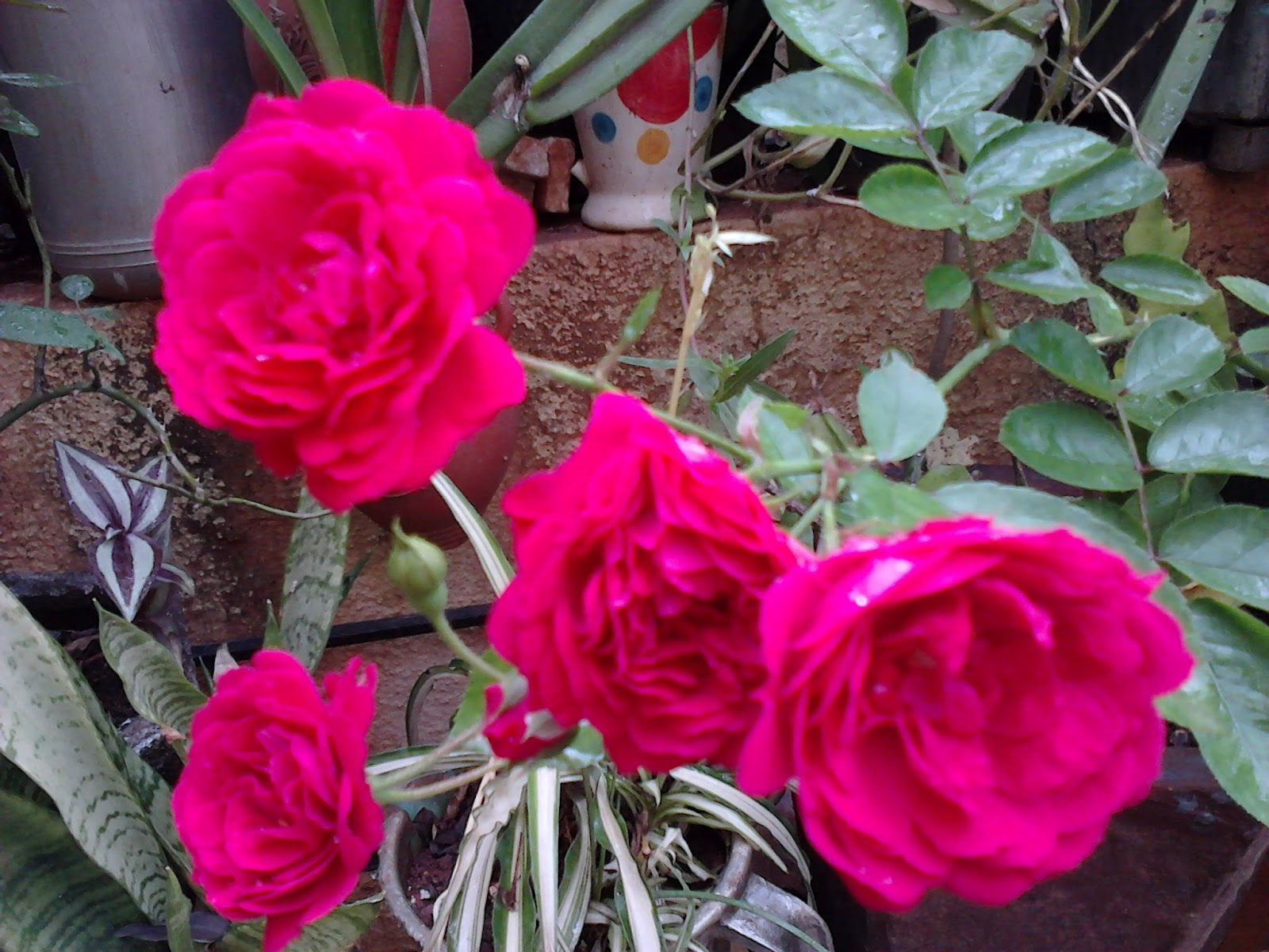 garden care simplified healthy big size rose flowering tips