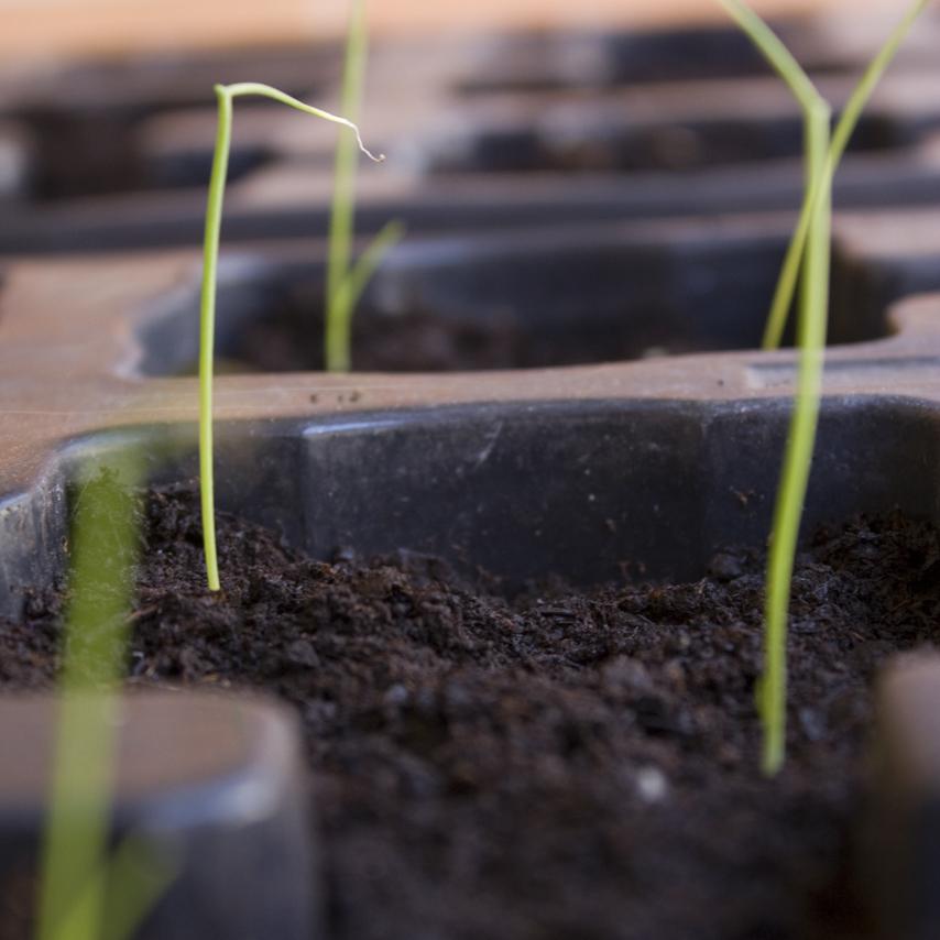 Cotiledones de cebolla en semillero