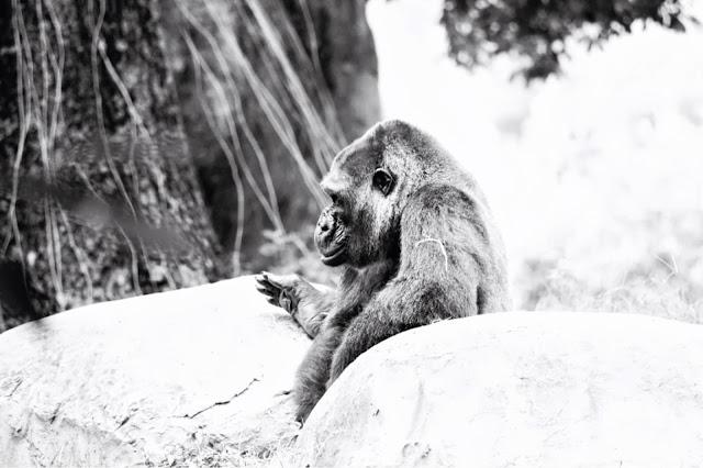 diamond back gorilla public domain picture