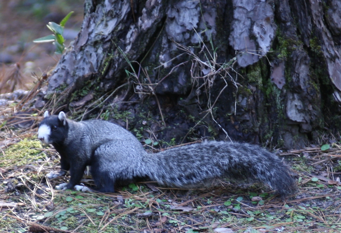 a story of gray raccoon and a brown squirrel Seni on raccoon power animal symbol of our many masks dexterity 19 thoughts on squirrel power animal symbol of gathering playfulness for the summer of course the grey squirrel is the town's mascot, as they are in such abundance.