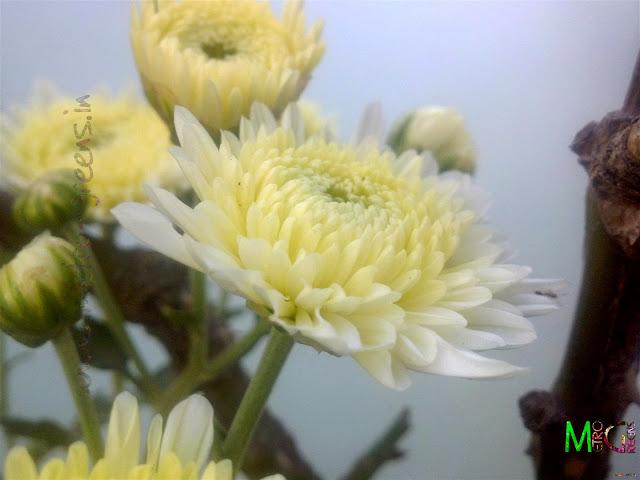 Metro Greens: Cream coloured chrysanthemum buds