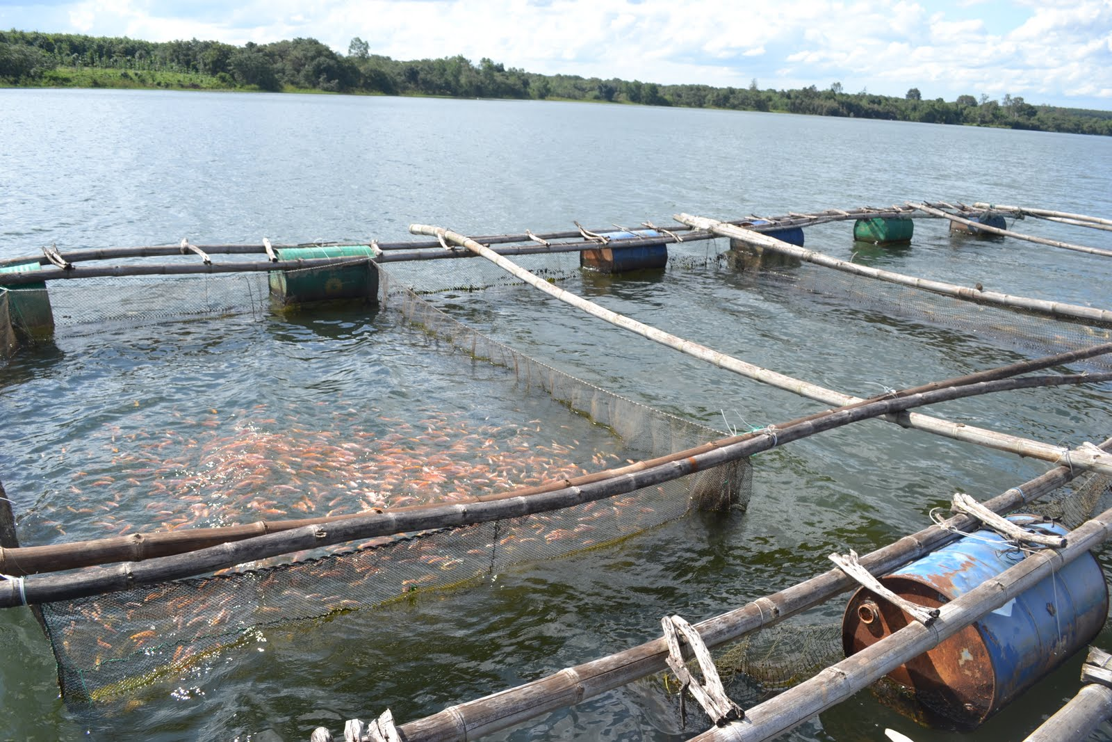 Vietnam fish farm for Farm raised fish