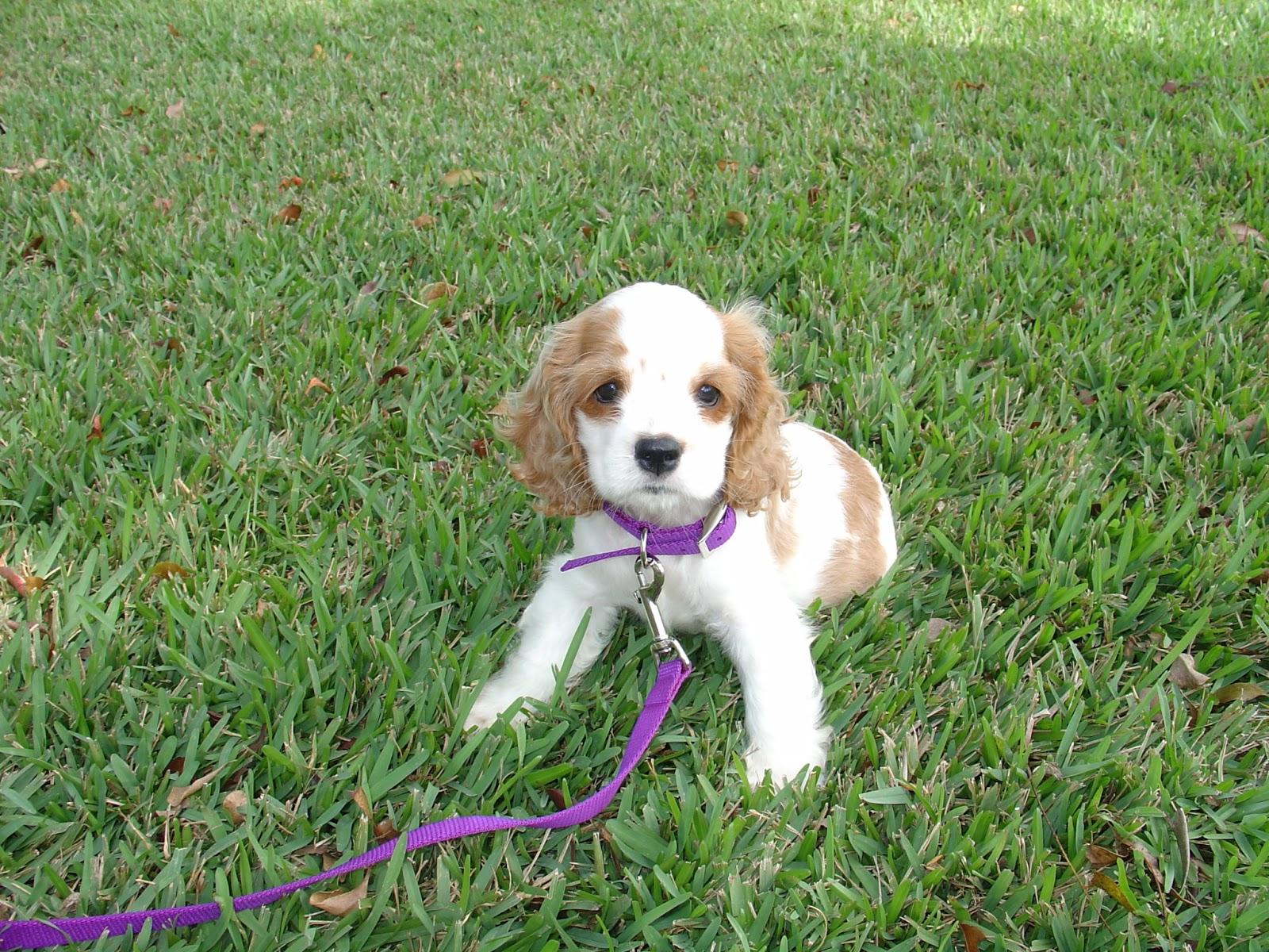Cocker Spaniel Puppy/Dog