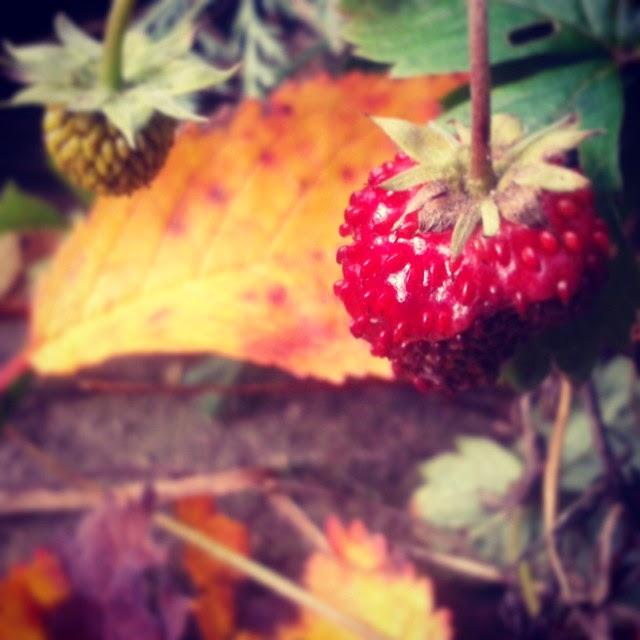 Smultron i oktober, höst, autum, wild strawberry, smultron, Sösdala, vacker natur, bra samhälle, välkommen, höst löv