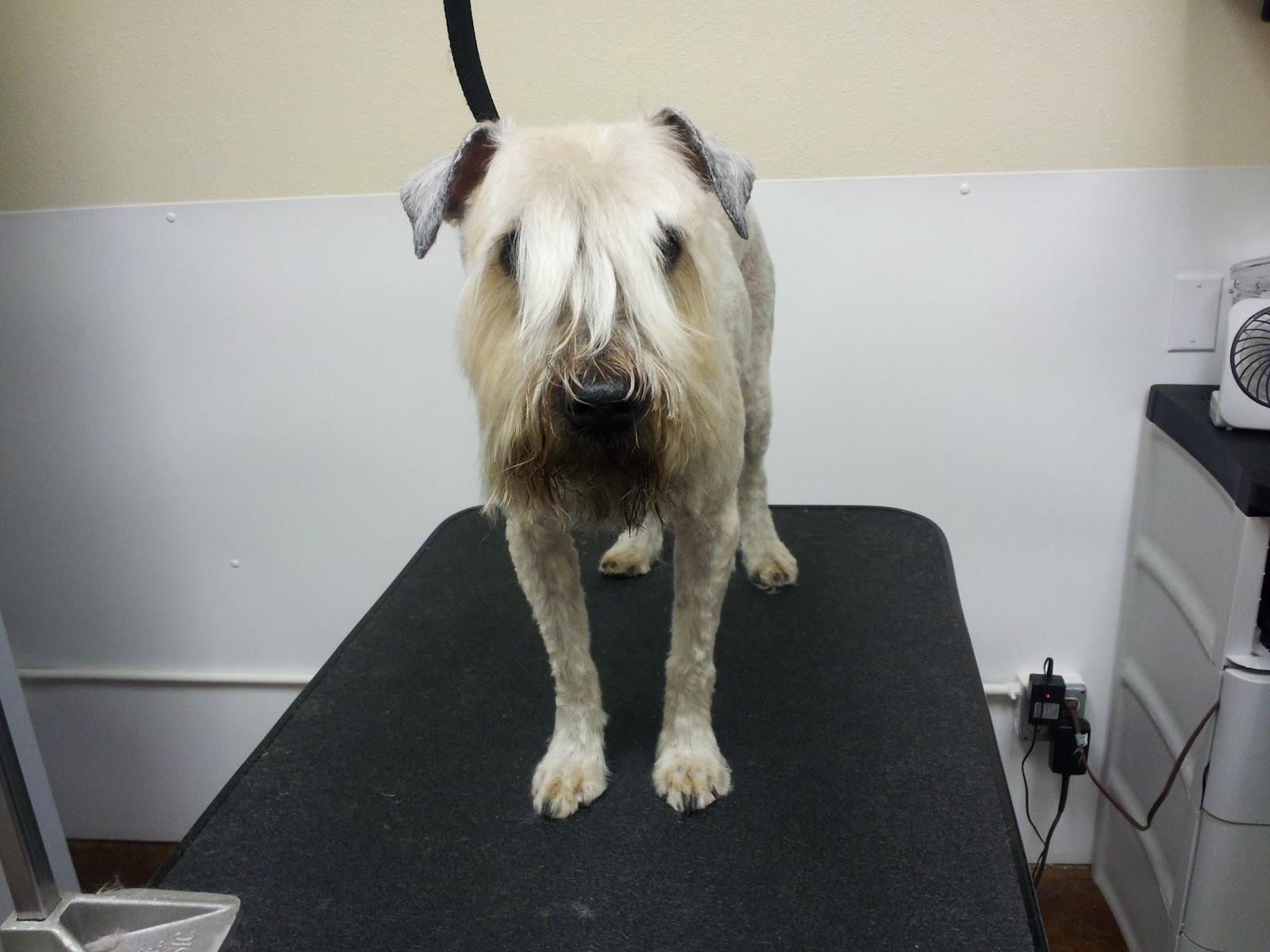front head wheaten terrier