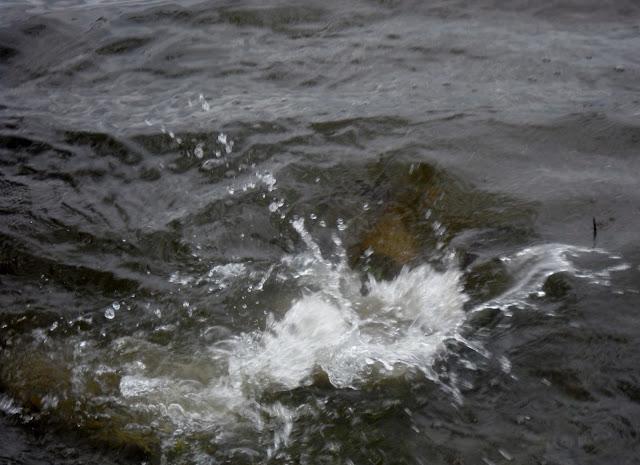 Carp spawning at White Rock Lake, Dallas, Texas
