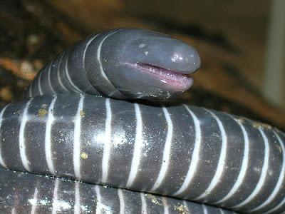 重慶 史前巨蚯蚓(重慶綦江現「史前巨蚯蚓」)