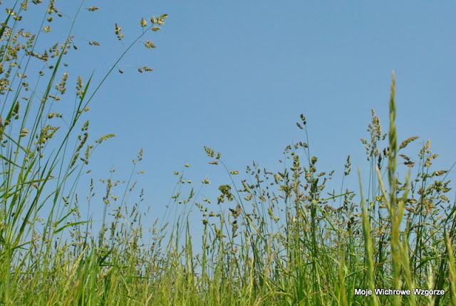 lato, niebo, łąka, kwitnąca trawa, piknik, plener, wiosna, wiosenna łąka, czerwcowa łąka