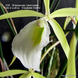Bletia tuberculata, Brassavola perrinii, Tulexis bicolor, Brassavola fragrans, Brassavola ceboletta, Bletia ceboletta, Brassavola gibbsiana, Brassavola rhomboglossa, Brassavola fragans, Brassavola flagellaris.