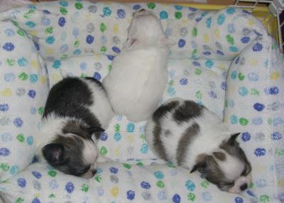 ロングコート チワワ 1ヶ月 子犬