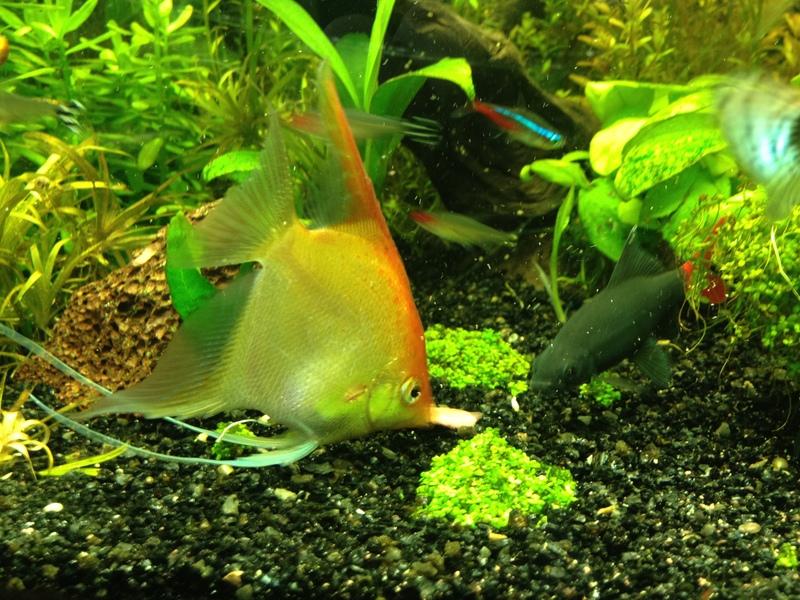 Cuando c mo y cuanto dar de comer a tus peces pasi n for Peces ornamentales acuarios