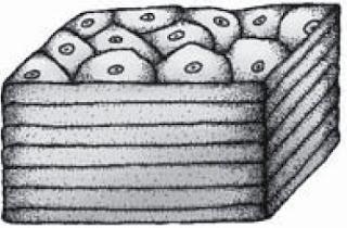 Epitel pipih berlapis pada rongga mulut