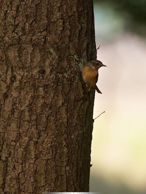 Jonge Roodborsttapuit - Juvenile Stonechat - Saxiola torquata