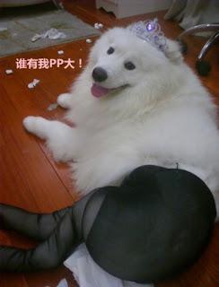 Anjing Canine Memakai Pantyhose