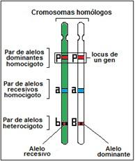 cromosomas homólogos