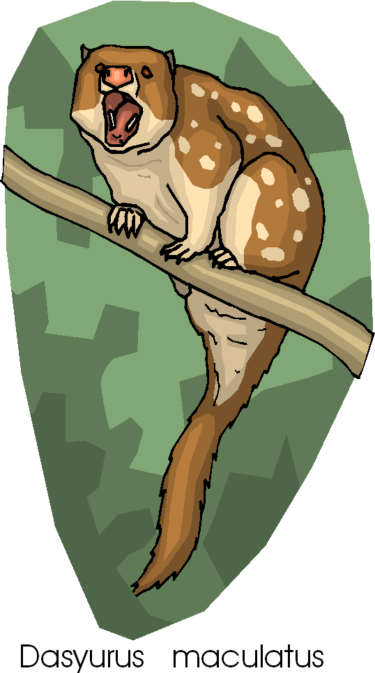 Spotted Tail Quoll Free Animal Clipart