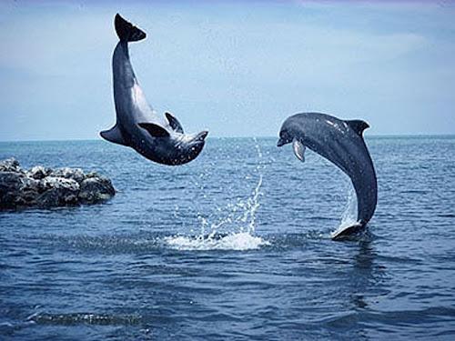 gambar lumba-lumba