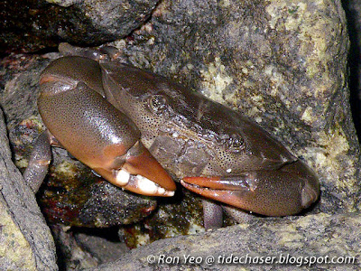 Spotted-belly Forceps Crab (Ozius guttatus)