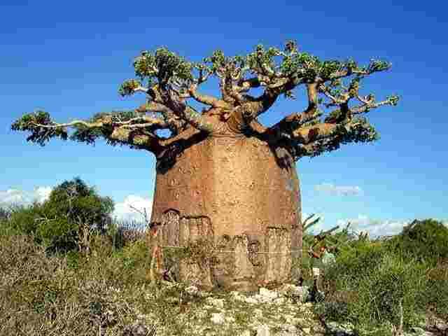 Baobab  Wikipedia